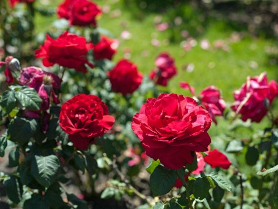 women love roses long considered a symbol of love or beauty roses remain one of the most popular flowers around the world and while i enjoy giving a - Most Beautiful Rose Gardens In The World